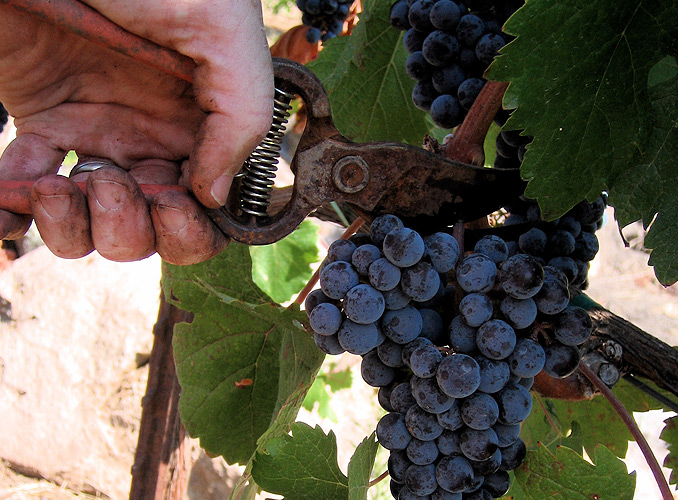 <p>The grapes are hand-picked, in order to select the best of them.</p>