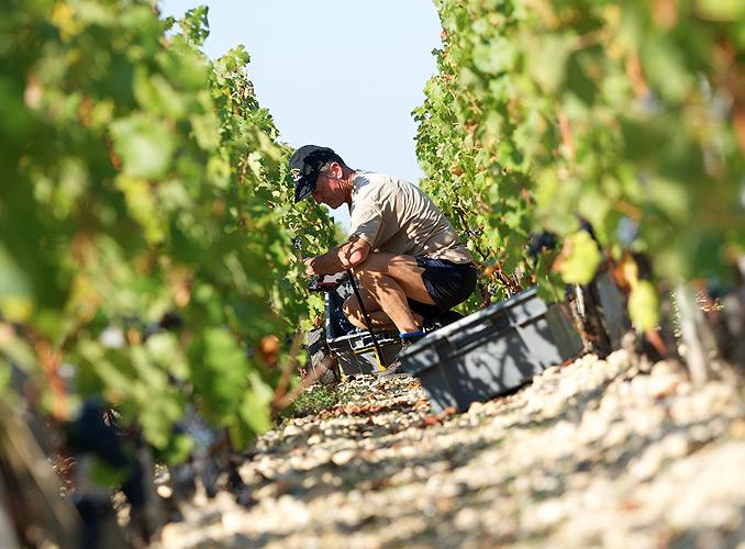 <p>ムートン・ロスチャイルドでは、収穫時、ブドウ果実は手作業で摘み取られ、ブドウを傷めないようカジェット(小箱)を使用する。</p>