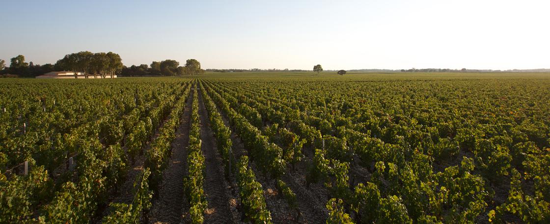 Château Mouton Rothschild compte 84 hectares de vignes au Nord-Ouest de Bordeaux, en bordure de la presqu'île du Médoc.