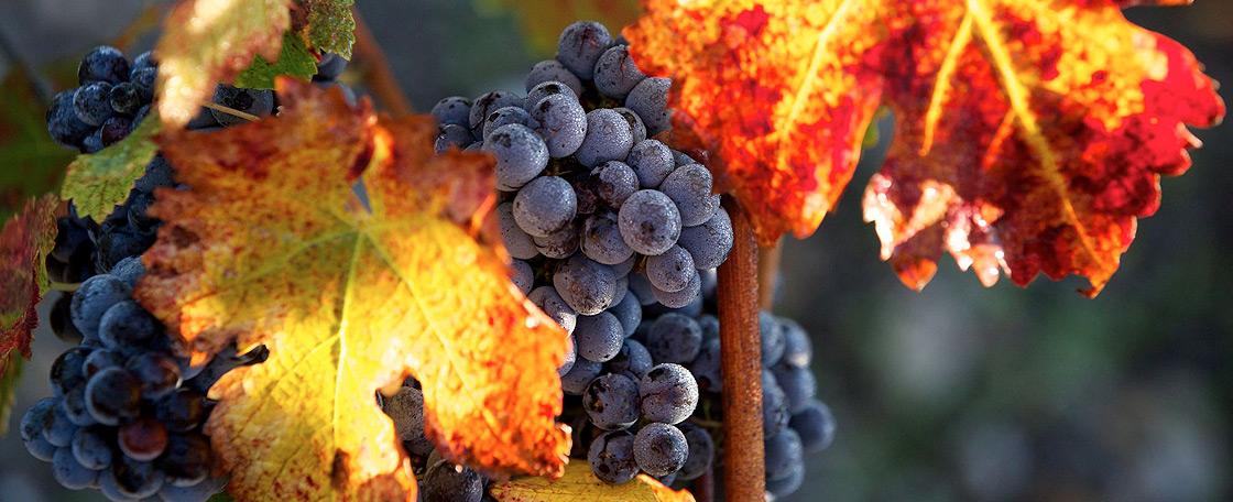 Le vignoble de Château Mouton Rothschild est planté en cépages typiques de la région.
