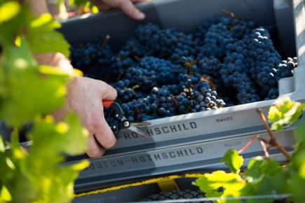 Chateau Mouton Rothschild harvest 2016