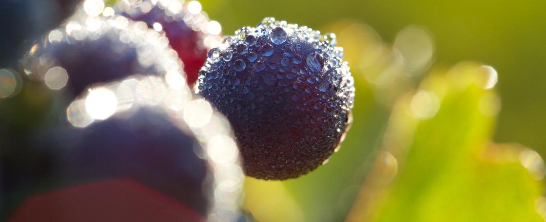 木桐堡的葡萄园与其他梅多克名庄类似,都采用极高的种植密度。